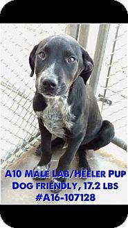 Australian Cattle Dog/Labrador Retriever Mix Puppy for adoption in Staunton, Virginia - Oakley