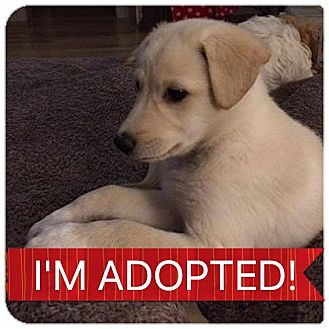 Labrador Retriever/Shepherd (Unknown Type) Mix Puppy for adoption in Regina, Saskatchewan - Cecil