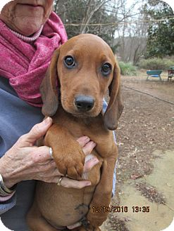 Beagle/Redbone Coonhound Mix Puppy for adoption in Oswego, New York - CLEM