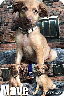 Collie/German Shepherd Dog Mix Puppy for adoption in St Clair Shores, Michigan - Mave