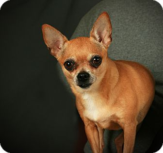 Chihuahua Dog for adoption in Toms River, New Jersey - Peanut