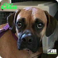 Adopt A Pet :: Ella - Woodinville, WA