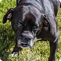 Adopt A Pet :: Treva - Evansville, IN