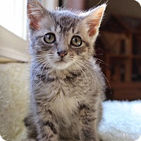 Domestic Shorthair Kitten for adoption in Wayne, New Jersey - Sterling
