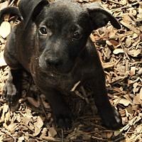 Adopt A Pet :: Stella - San Antonio, TX