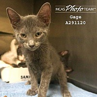 Adopt A Pet :: GAGE - Conroe, TX