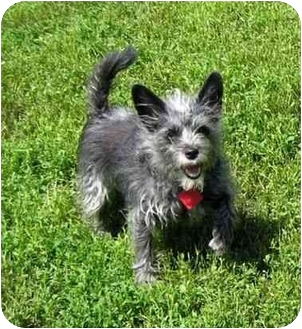Terrier (Unknown Type, Small) Mix Dog for adoption in Ile-Perrot, Quebec - Sophia
