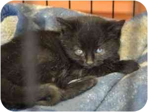 Domestic Mediumhair Kitten for adoption in New Richmond, Ohio - Blizzard--adopted!
