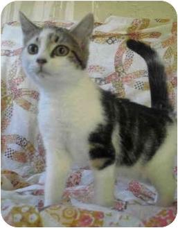 Domestic Mediumhair Kitten for adoption in Honesdale, Pennsylvania - Raku