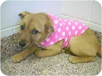 Chow Chow Mix Puppy for adoption in North Charleston, South Carolina - Autumn