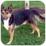 Photo 3 - German Shepherd Dog Mix Dog for adoption in Overland Park, Kansas - Rusty
