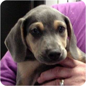 Beagle/Weimaraner Mix Puppy for adoption in Manassas, Virginia - paul