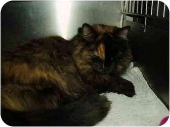 Domestic Mediumhair Cat for adoption in El Cajon, California - Kelley