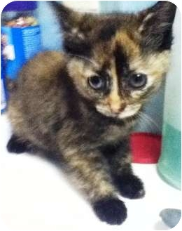 Domestic Shorthair Kitten for adoption in Union, New Jersey - Snickers - Pending