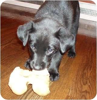 Labrador Retriever Mix Puppy for adoption in Okotoks, Alberta - MJ