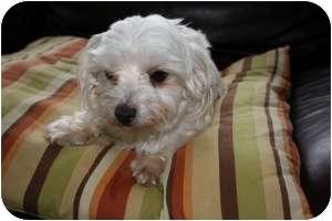 Maltese Dog for adoption in North Benton, Ohio - Mandy