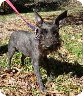 Miniature Schnauzer Dog for adoption in Harrisonburg, Virginia - Cinny Mini