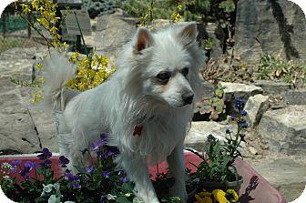 American Eskimo Dog Dog for adoption in Ft. Collins, Colorado - General