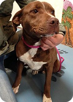 American Pit Bull Terrier Mix Dog for adoption in Alamogordo, New Mexico - Faith