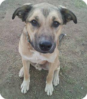 Shepherd (Unknown Type) Mix Dog for adoption in Scottsdale, Arizona - Farley