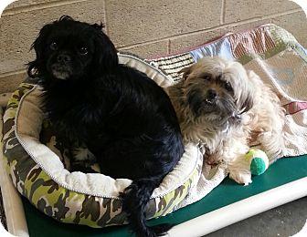 Pekingese Mix Dog for adoption in Greensburg, Pennsylvania - Bear