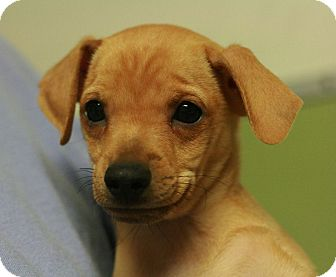 Terrier (Unknown Type, Small)/Chihuahua Mix Puppy for adoption in Canoga Park, California - Wilamina