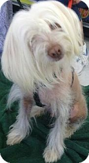 Chinese Crested Mix Puppy for adoption in Phoenix, Arizona - Shaggy