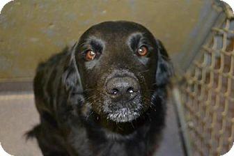 Labrador Retriever Mix Dog for adoption in Edwardsville, Illinois - Major Joe