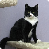 Domestic Shorthair Cat for adoption in Orleans, Vermont - Tap