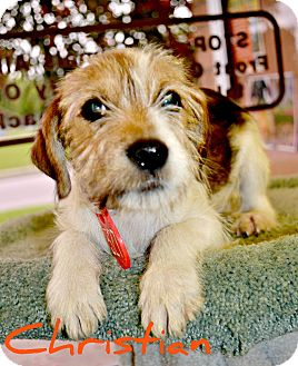 Terrier (Unknown Type, Small) Mix Puppy for adoption in Beaumont, Texas - Christian