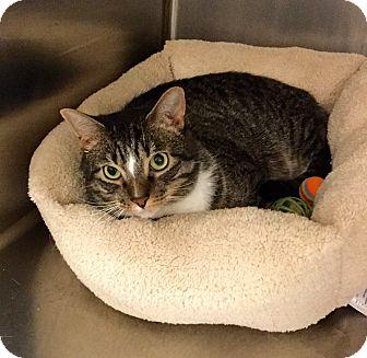 Domestic Shorthair Cat for adoption in Colmar, Pennsylvania - Smurf