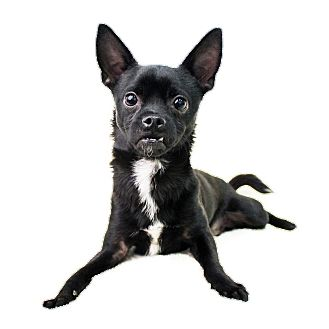 Chihuahua Mix Dog for adoption in Wilmington, Delaware - Webber
