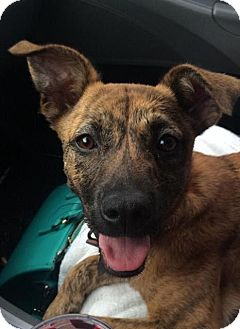 Mountain Cur Mix Dog for adoption in East Hartford, Connecticut - Isabella in CT