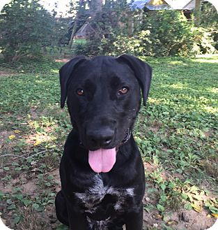 Great Dane/Labrador Retriever Mix Dog for adoption in Nashville, Tennessee - Ciaran