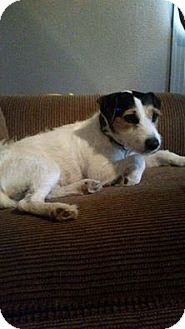 Jack Russell Terrier Mix Dog for adoption in Snyder, Texas - Skeeter