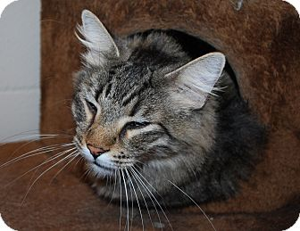 Maine Coon Cat for adoption in Council Bluffs, Iowa - Smokey