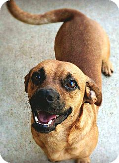 Beagle/Pug Mix Dog for adoption in Andalusia, Pennsylvania - Bubba