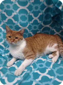 Domestic Shorthair Cat for adoption in Watauga, Texas - Simon