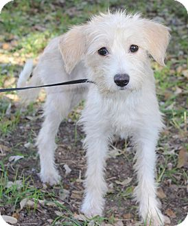Terrier (Unknown Type, Small) Mix Dog for adoption in Wheaton, Illinois - NOELLE