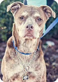 Pit Bull Terrier/Hound (Unknown Type) Mix Dog for adoption in Gainesville, Florida - Brandy Rose