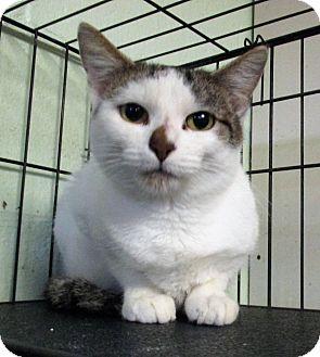 Domestic Shorthair Cat for adoption in Reeds Spring, Missouri - Razberry