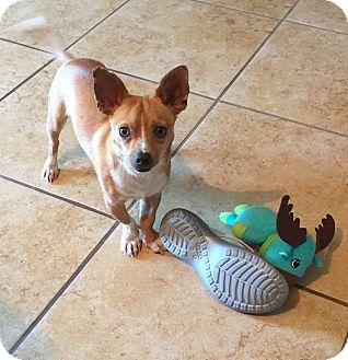 Chihuahua Mix Dog for adoption in San Francisco, California - Thomas