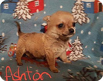 Pomeranian/Chihuahua Mix Puppy for adoption in Burlington, Vermont - Aston