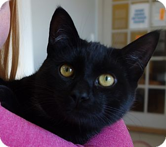 Domestic Shorthair Cat for adoption in Greenfield, Indiana - Marley