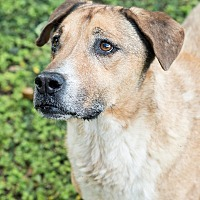 Labrador Retriever Mix Dog for adoption in Key Biscayne, Florida - Sunshine II