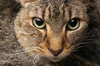 Domestic Shorthair Cat for adoption in Colorado Springs, Colorado - Kenobi