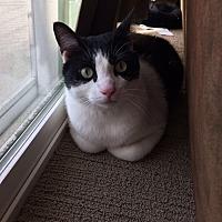 Domestic Shorthair Cat for adoption in Saint Paul, Minnesota - Baba