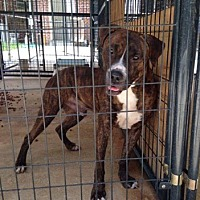 Boxer/Bulldog Mix Dog for adoption in Marianna, Florida - Babe Ruth