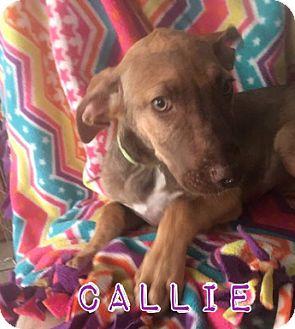 Labrador Retriever Mix Puppy for adoption in Mesa, Arizona - CALLIE -12WK LAB RETRIEVER MIX