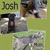 American Pit Bull Terrier Mix Puppy for adoption in Hearne, Texas - Josh